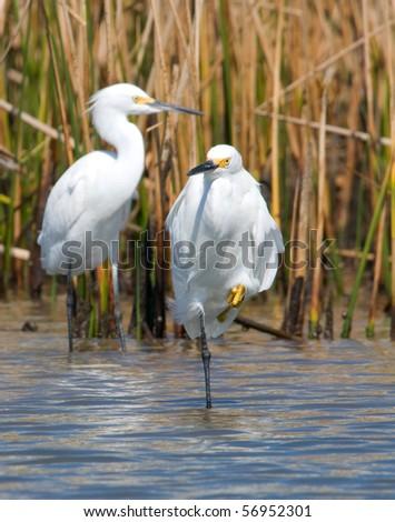 Snowy Egrets in a gulf coast marsh - stock photo