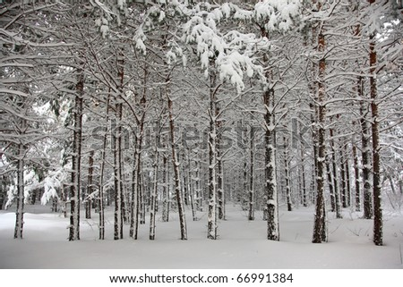 snowy forest in siberia, altai - stock photo