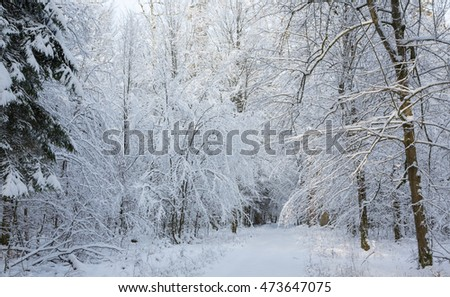 Snowy ground road with some tracks under hornbeam snow wrapped branches,Bialowieza Forest,Poland,Europe