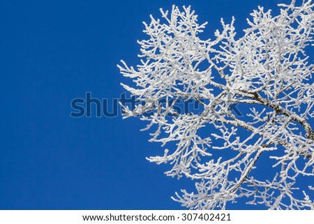 Snowy ice on tree in winter wonderland with blue sky. Beautiful white snow covering the branches of an old tree at a cold winter day