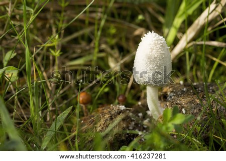 Snowy Inkcap (Coprinopsis nivea) mushroom emerging from horse manure in long, green grass
