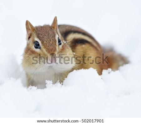 Snowy little chipmunk in winter