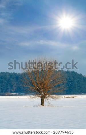Snowy mulberry tree on a winter coniferous background - stock photo