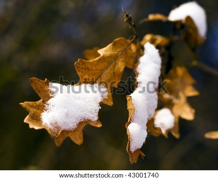 Snowy oak leaf in the forest. - stock photo