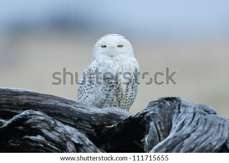 Snowy owl at the Damon Point State Park in Ocean Shores, WA - stock photo