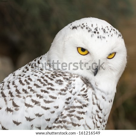 Snowy Owl - Bubo scandiacus - stock photo