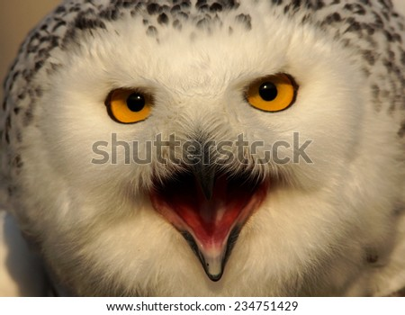 Snowy owl - [Bubo scandiacus] - stock photo