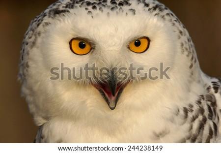 snowy owl - [Bubo scandiacus] - stock photo
