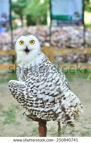 Snowy owl (Bubo scandiacus), bird of prey - stock photo