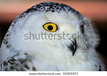 Snowy Owl, Bubo scandiacus Close up of white owl with distinctive yellow eye.