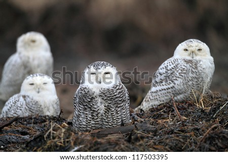 Snowy Owl (Bubo scandiacus) flocks in Vancouver, Canada - stock photo