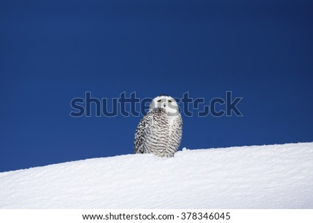 Snowy owl, Bubo scandiacus, on snow