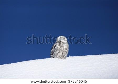 Snowy owl, Bubo scandiacus, on snow - stock photo