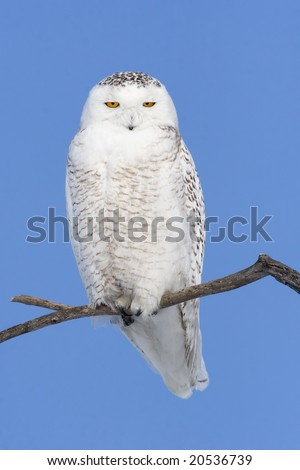 Snowy owl (Bubo scandiacus) perch on a tree branche. - stock photo