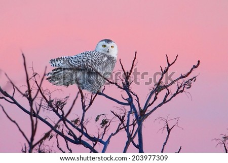 Snowy Owl (Bubo scandiacus) perched in a tree with a setting sun - stock photo