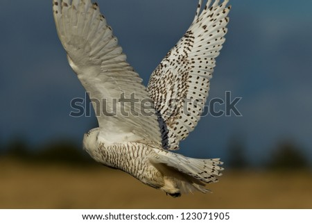 Snowy Owl (Bubo scandiacus).  The Snowy Owl is a large owl of the typical owl family Strigidae. - stock photo
