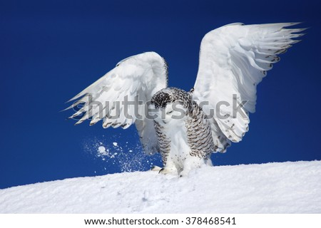 Snowy owl, Bubo scandiacus, with open wings trying to catch prey in the snow  - stock photo