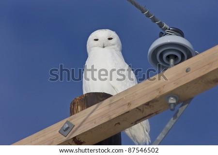 Snowy Owl Canada blue sky beautiful bird Saskatchewan - stock photo