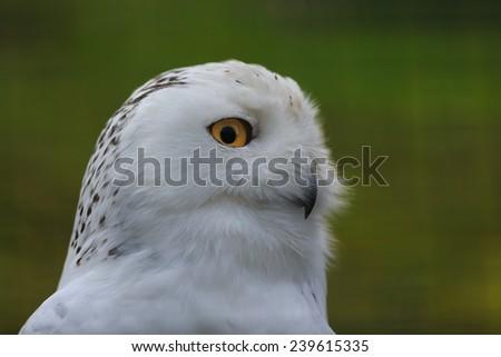 snowy owl close up - stock photo