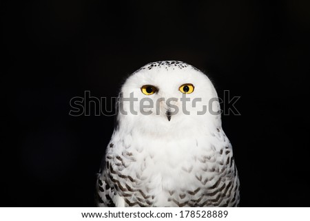 Snowy owl closeup  - stock photo