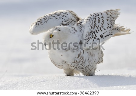 Snowy owl flap wings - stock photo