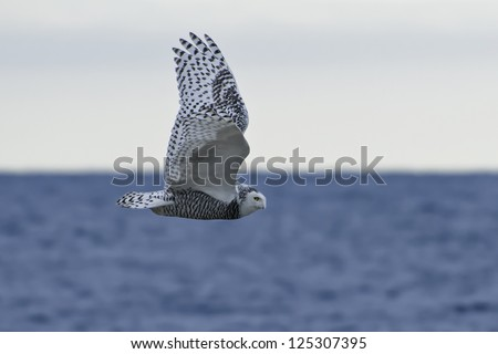 Snowy Owl flying over open water. - stock photo
