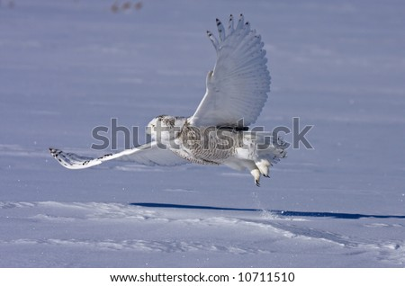 Snowy owl in flight - stock photo