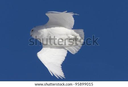 Snowy Owl in Flight in Saskatchewan Canada - stock photo