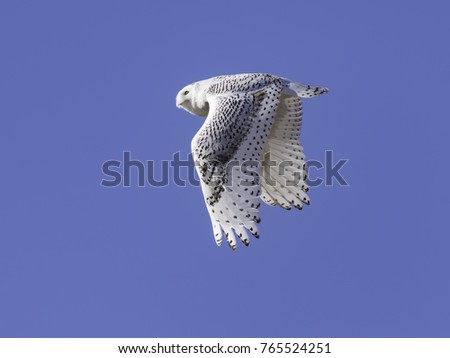 Snowy Owl in Flight n Blue Sky