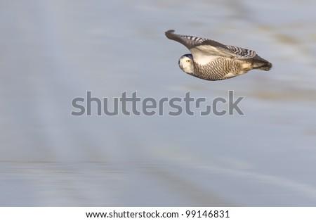 Snowy Owl in Flight winter in Saskatchewan Canada - stock photo