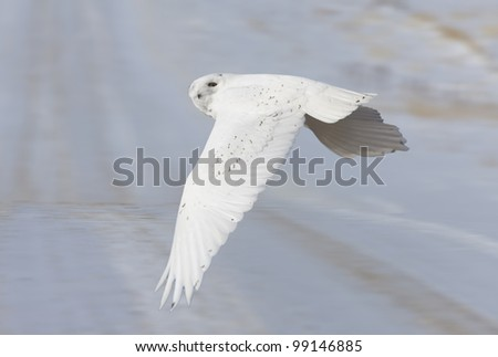 Snowy Owl in Flight winter in Saskatchewan Canada - stock photo