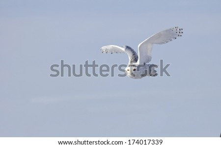 Snowy owl in flight with blue sky background.  Winter in Minnesota - stock photo