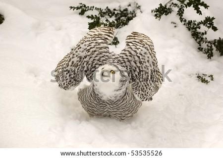 Snowy Owl Symbol Wisdom Nictea Scandiaca Stock Photo 53535526