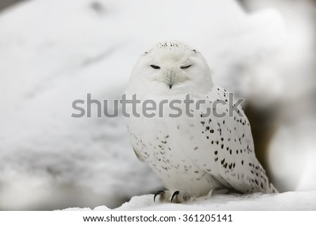 snowy owl nicely camouflaged in snow - stock photo