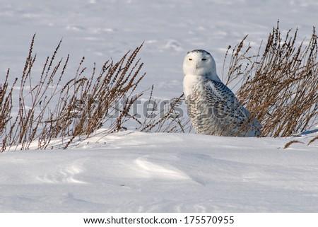 snowy owl on the ground in eastern Ontario - stock photo