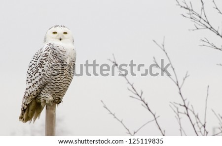 Snowy owl outdoors on a perch. - stock photo