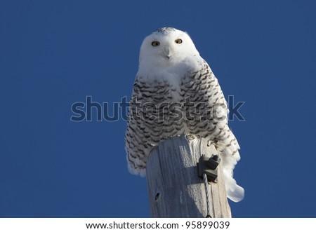 Snowy Owl Perched in Saskatchewan Canada in Winter - stock photo
