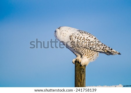 Snowy Owl perched on a fence post in the prairies in winter - stock photo
