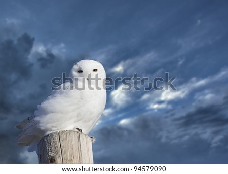 Snowy Owl Perched winter Saskatchewan Canada cold - stock photo
