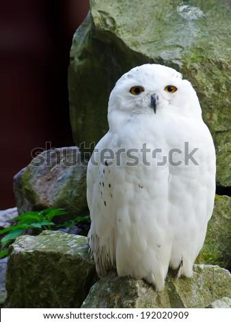 Snowy Owl Portrait Close Up - stock photo