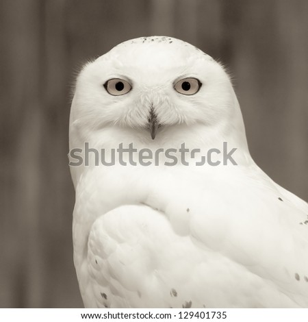 Snowy owl sitting quietly looking out for prey, monochromatic version - stock photo