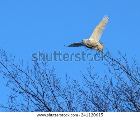 snowy owl taking flight from a tree branch, eastern Ontario - stock photo