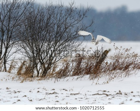 Snowy Owl Taking Off from the Fence Post in Winter
