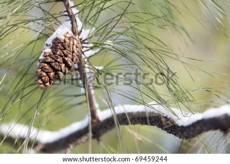 snowy pine cone & branch