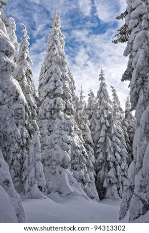 snowy pine forest - stock photo