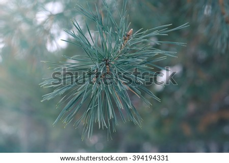 Snowy pine tree branches, closeup