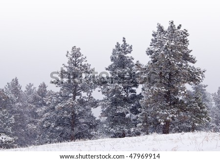 Snowy pines on a hillside in the foothills of the Rocky Mountains during a storm with snow falling - stock photo