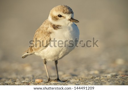 Snowy plover searches the shoreline for an easy meal in the early light - stock photo
