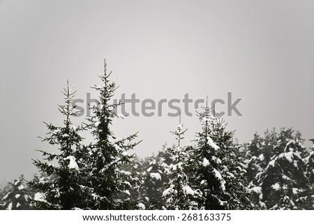 Snowy Tops of Pine Trees Forest and Grey Sky - stock photo