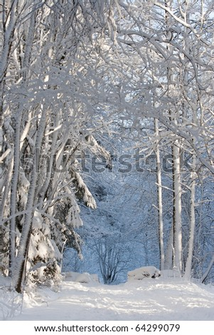 Snowy trees frames the path in deep forest